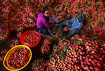 Thousands of lychees sorted for market