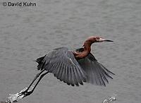 0124-08uu  Flying Reddish Egret Dark Morph, Egretta rufescens  © David Kuhn/Dwight Kuhn Photography