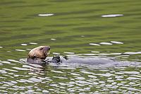 Se otter feeds on clams in Captain's Bay, Dutch Harbor, Aleutian Islands, Alaska