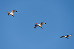 Damon, Texas; three adult white ibis birds flying overhead in formation against a blue sky in late afternoon sunlight
