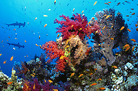 Red Sea soft corals and Scalloped hammerhead sharks, Sphyrna lewini