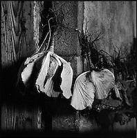 Europe/France/Auvergne/15/Cantal/Paulhac:Massif du Plomb du Cantal  Choux pendus la téte en bas pour la conservation ,dans une grange -Potée auvergnate -Parc Naturel Régional des Volcans d'Auvergne