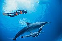 Indo-Pacific bottlenose dolphin, Tursiops aduncus, (mr), Bonin Islands, Ogasawara, Tokyo, Japan, Pacific Ocean