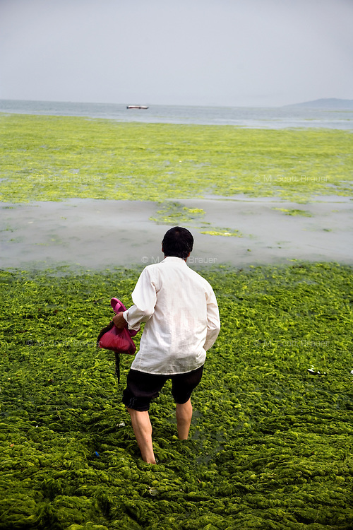 A man stands knee deep in algae-covered water off the Number 6 Bathing Beach on Qingdao Bay in Qingdao, Shandong, China.  ..Qingdao is the host of the sailing events for the 2008 Summer Olympics. Algae blooms like this have become common in inland lakes in China, often caused by high pollution in bodies of water.  The city is asking for help and forcing residents to take part in the cleanup effort before the Olympic events..