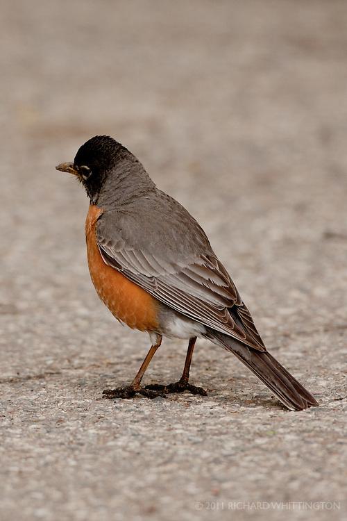 American Robin, North Dakota.