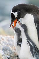 gentoo penguin, Pygoscelis papua, parent feeding chicks, Paradise Island, Antarctica