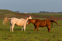 Two companionable horses enjoying the day in a field in Waimea, Big Island of Hawai'i.