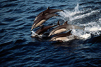 short-beaked common dolphins Delphinus delphis California, East Pacific Ocean