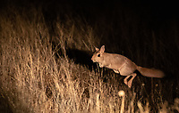 Another new mammal species for us, the kangaroo-like springhare (it's actually a rodent).<br /> <br /> Photo © Jennifer Waugh