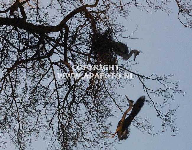arnhem, 180202<br />De reigers in park Sonsbeek in Arnhem zijn al druk doende territorium af te bakenen en hun oude nesten aan het herstellen. (De meeste koppels doen dat inderdaad met de nesten die ze vorig jaar gebruikt hebben).In het park huist een kolonie met ongeveer 80 nesten. Alles wordt in gereedheid gebracht om over circa 1,5 maand te kunnen gaan broeden.<br />foto: aloys burgers / APA-foto