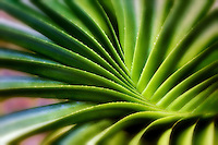 Swirling leaves of succulent plant. Bora Bora. French Polynesia.