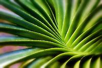 Swirling leaves of succulent plant. Bora Bora. French Polynesia.