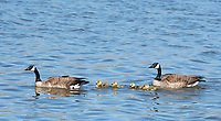 A pair of Canada Geese, Branta canadensis, with goslings on Lake Ewauna, Oregon