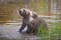 Grizzly Bear shaking off some water - CA