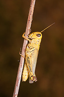 Differential Grasshopper (Melanoplus differentialis), yellow form female