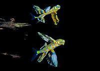 Atlantic flyingfish, Cheilopogon melanurus, juvenile, with reflection at the surface, at night, offshore, Palm Beach, Florida, USA, Atlantic Ocean