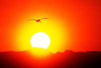 570002533 a wild brown pelican pelecanus occidentalis soars in silhouette above a rising sun in the salton sea national wildlife refuge in southern california