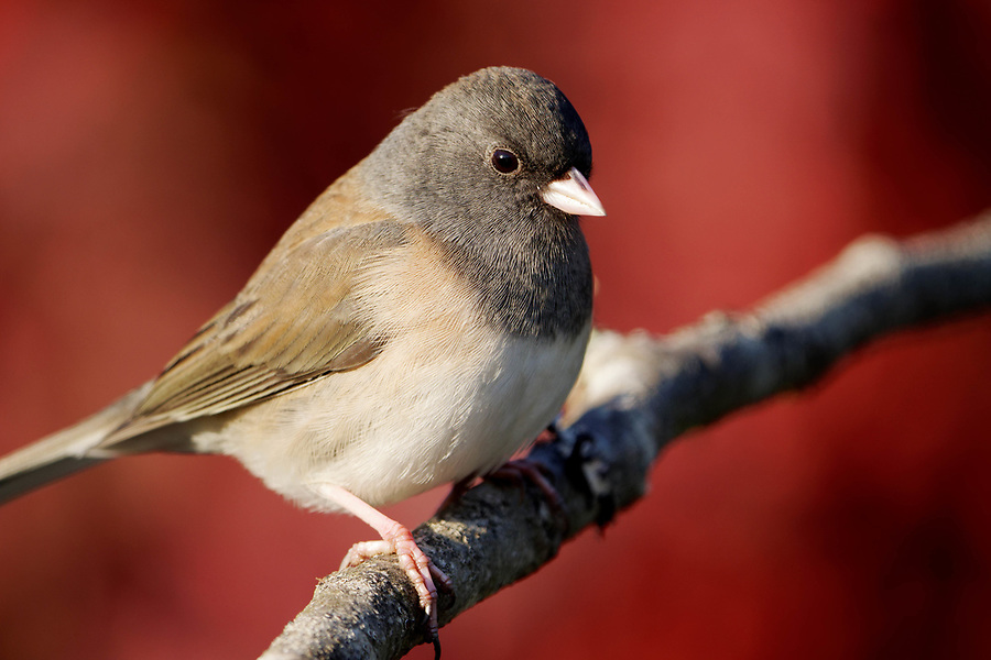 Female dark-eyed Junco (Junco hyemalis) perched on branch, autumn colors in background, Snohomish, Washington, USA