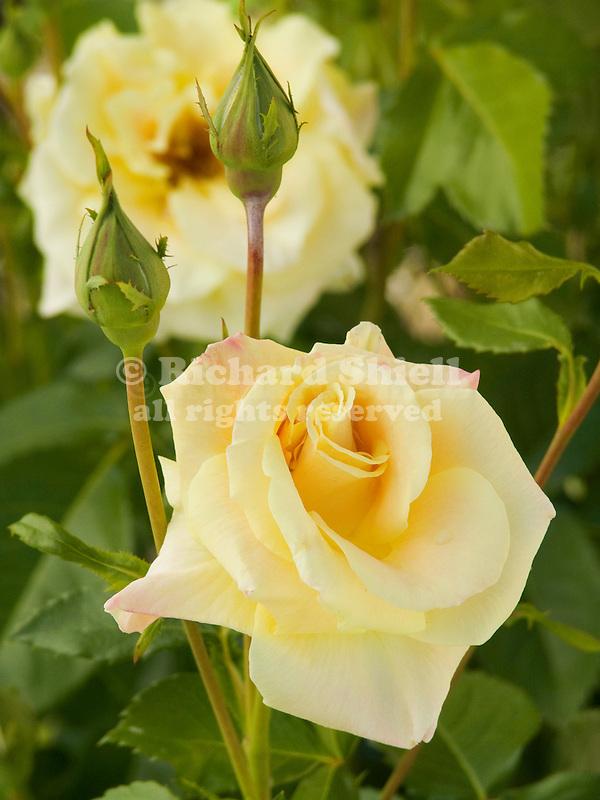 Prairie Harvest Rose, Rosa Buck hybrid