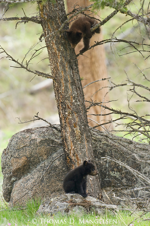 A black bear cub climbs a tree in Yellowstone National Park, Wyoming, while its sibling sits at the base of the tree.
