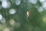 Brazoria County, Damon, Texas; a large female golden silk orb-weaver spider sitting in its web, waiting for prey, backlit by early morning sunlight