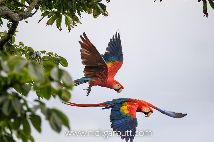 Scarlet Macaws (Ara macao) in flight. Osa Peninsula (near Corcovado National Park), Costa Rica, Central America.