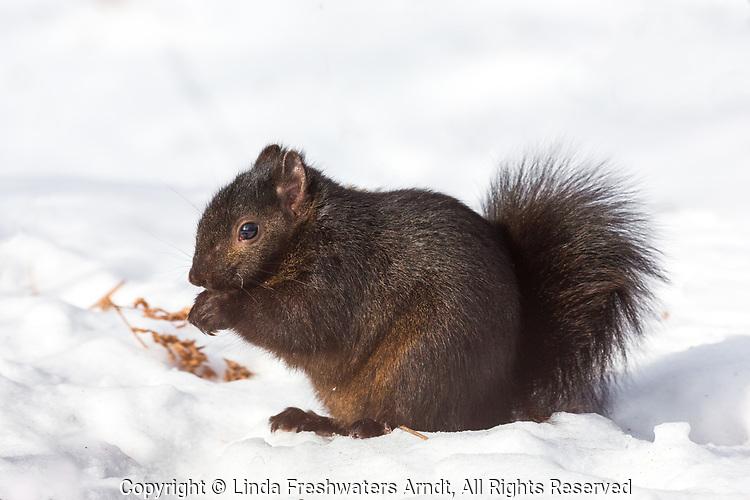 Eastern gray squirrel - dark color morph