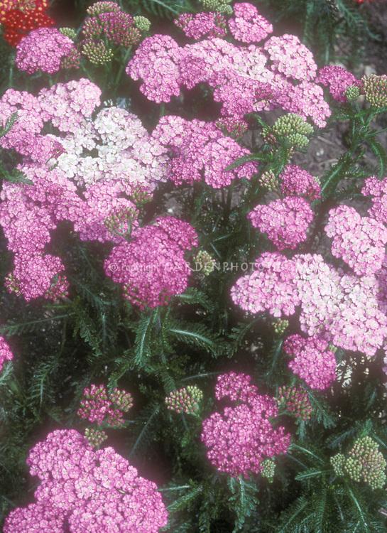 Pink Yarrow Achillea millefolium 'Appleblossom'