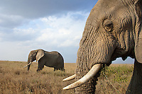 Two bull african elephants peacefully grazing the savannah grasses of the Serengeti.  Serengeti National Park, Tanzania