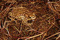 Natterjack Toad (Epidalea calamita) in shallow pond in sand dunes at night. Sefton Coast,  Merseyside, UK. April. Photographed under licence. Photographer: Alex Hyde