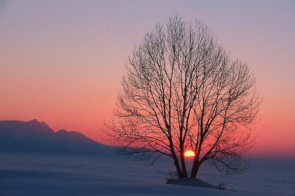 Linden tree (Tilia sp.),bare tree at sunset in winter, Switzerland