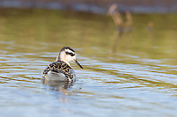 A Red Phalarope swims in a marsh pool at Kosabelyaka, the Russian Arctic