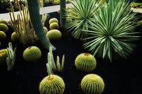 Barrel cactus garden. Sunnylands gardens. Palm Springs, California