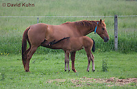 0510-0911  Dutch Warmblood Horse, Mare with Nursing Foal, Equus ferus caballus  © David Kuhn/Dwight Kuhn Photography