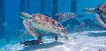 Turtles in lagoon in Bora Bora, French Polynesia