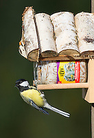 Kohlmeise an der Vogelfütterung, Fettfutter, Kohl-Meise, Meise, Meisen, Parus major, great tit. Ganzjahresfütterung, Vögel füttern im ganzen Jahr, Vogelfutter der Firma GEVO