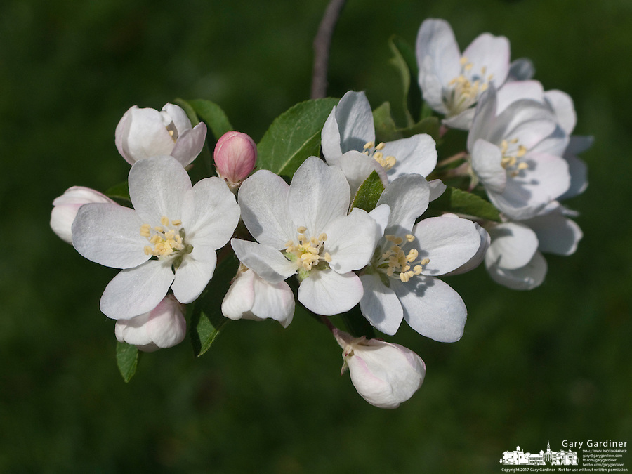 Apple tree flowers and buds in full sun with tree filled with blossoms out of focus in background.