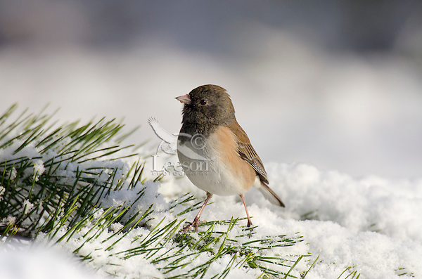 Dark-eyed Junco or Oregon Junco (Junco hyemalis) on cold, snowy, winter day.  Pacific Northwest.