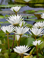 White Innocense tropical water lily. Hughes Water Gardens. Oregon