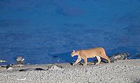 A female puma walks along a lake shore in southern Chile.