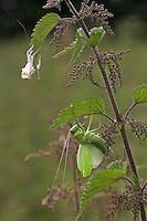 Zwitscherschrecke, Zwitscher-Heupferd, Heupferd, frisch gehäutet an Brennnessel, alte Haut (Exuvie) oben im Bild, Tettigonia cantans, twitching green bushcricket