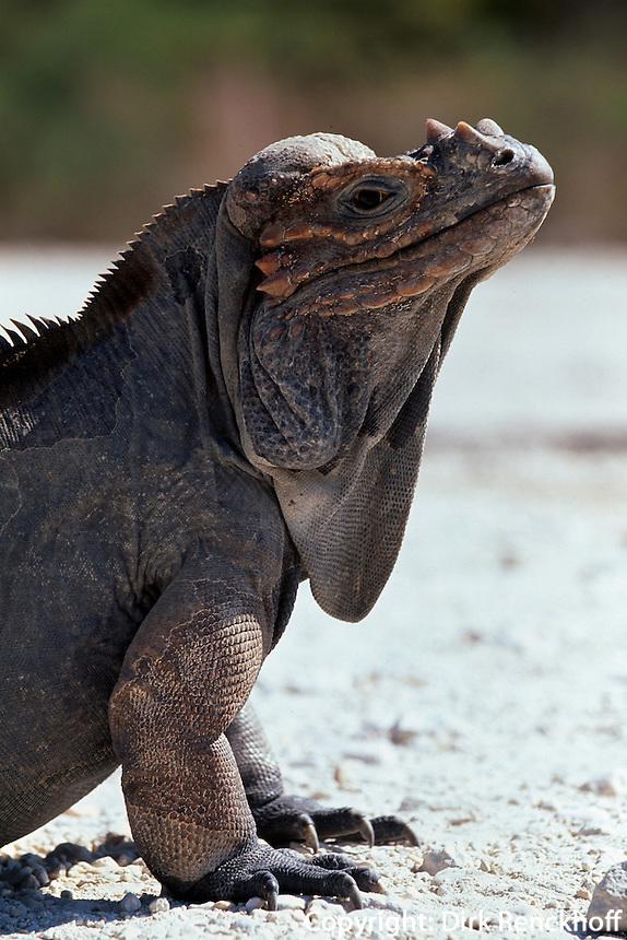 Dominikanische Republik, endemischer Nashornleguan am Lago Enriquillo
