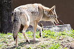 Captive raised Western coyote, Molly lives in the Button wood Zoo, New Bedford, Massachusetts.