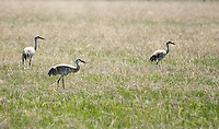 Three Sandhill Cranes, Grus canadensis, feeding in a meadow near Hyatt Lake, Oregon