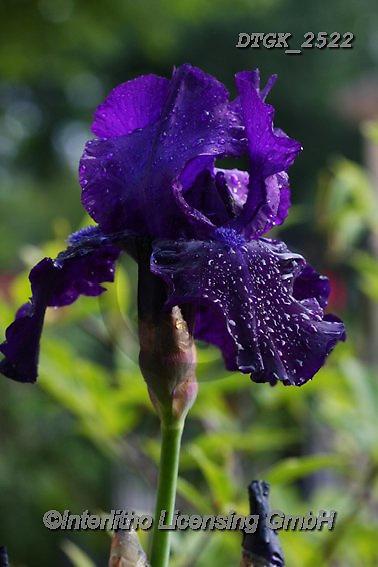 Gisela, FLOWERS, BLUMEN, FLORES, photos+++++,DTGK2522,#f#, EVERYDAY