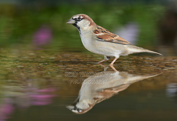 House Sparrow (Passer domesticus), male in bird bath, Hill Country, Texas, USA