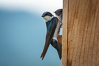 A tree swallow feeds its young in Anchorage, Alaska.