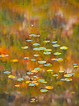 Autumn reflections surround lilypads in the Tarn at Acadia National Park, Maine, USA