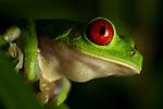 Red-eyed Tree Frog (Agalychnis callidryas) at night, Osa Peninsula, Costa Rica