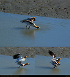 Mating American Avocets, Foreplay, Sex on the Beach, The Look of Love, Baylands Nature Preserve, Palo Alto, California